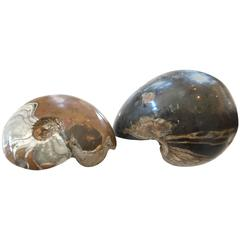 Two Million Year Old Ammonites of a Nautilus and Crustacean