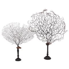 Sea Fan on Turned Wood Pedstal
