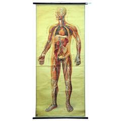 Vintage School Wall Chart of Human Body