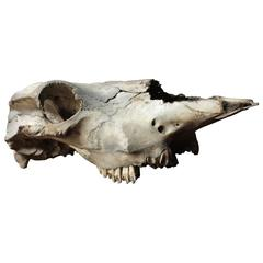 Large Mid-20th Century Upper Section of a Cow Skull