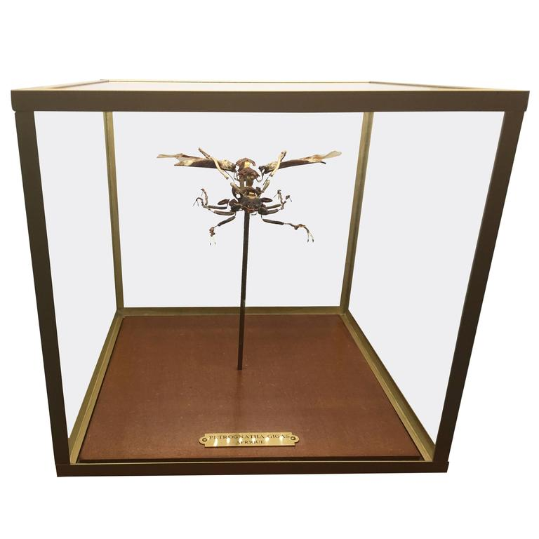 Deconstructed and Mounted Giant African Longhorn Beetle under Glass