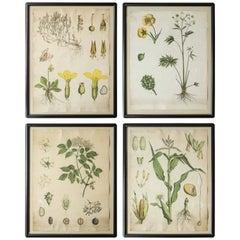 18th Century German Botanicals