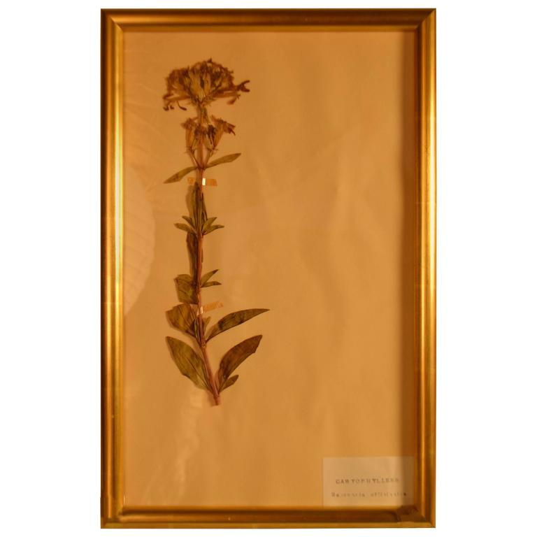 Framed Herbier in New Gold Leaf Frame