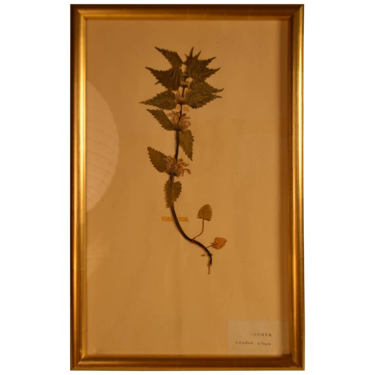 Early 20th Century Framed Herbier