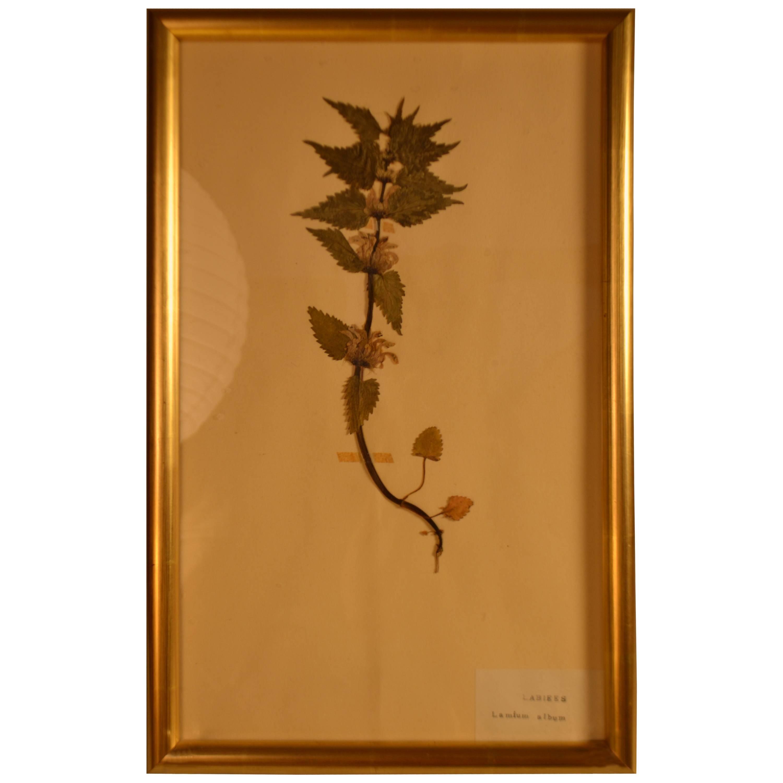 Early 20th Century Framed Herbier