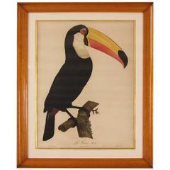 Hand-Colored Engraving of a Toucan after Jacques Barraband