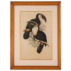 Colored Lithograph of Toucans Published by Gould