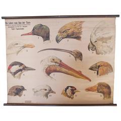 Antique Scientific Chart Bird Heads and Beaks, Denoyer-Geppert