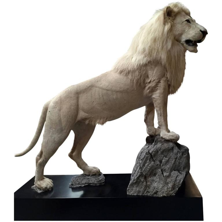 Taxidermy Full Mount White Lion At 1stdibs