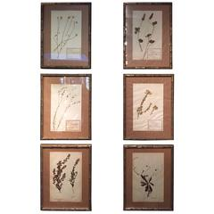 "Late 19th Century Framed and Pressed French Herbier ""Pressed Plant"" Specimens"