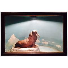Vintage Walrus Diorama, De-Accessioned from a West Hartford Museum