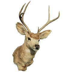 North American Deer Mount