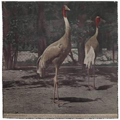 Large Art Nouveau Photochrom Wall Chart, Cranes at the Vienna Zoo
