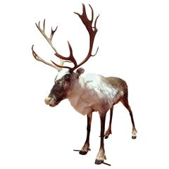 Magnificent Reindeer of Lapland Finland