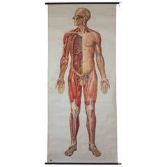 Wall Chart, Human Body, Deutsches Hygiene Institute, 1954