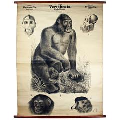 Antique 19th Century Wall Chart by Rudolf Leuckart, Primates, Ape, 1885