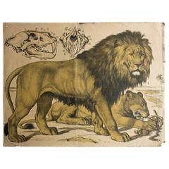 Lion 'Felis Leo,' Engleders Wall Charts, Lith. J. F. Schreiber, 1893