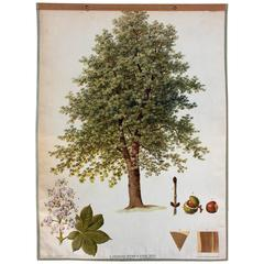 Wall Chart Chestnut Tree by J. Fleischmann for Gerold & Sohn, 1879
