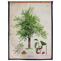 Wall Chart Cherry Tree by v. Joh. Kautsky and G. v. Beck for Gerold & Sohn, 1879