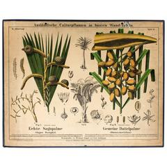Sago Palm and Date Palm Wall Chart by Hermann Zippel & Carl Bollmann, 1877