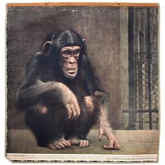 Vintage Wall Chart Chimpanzee, 1916