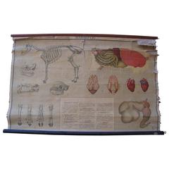 Skeletal System Chart from Argentina