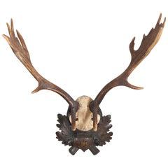 19th Century German Fallow Deer Trophy with Original Württemberg Badge