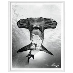 Michael Muller, Sharks, Art Edition No. 101-200 'Under Study'