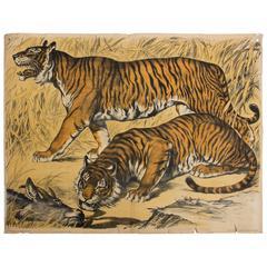 Tiger, Engleders Wall Charts, Lith. J. F. Schreiber, 1899