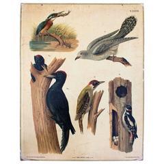 Birds Wall Chart by Carl Gerold's Sohn, K.U.K Hoflithogr. A. Haase, 1886