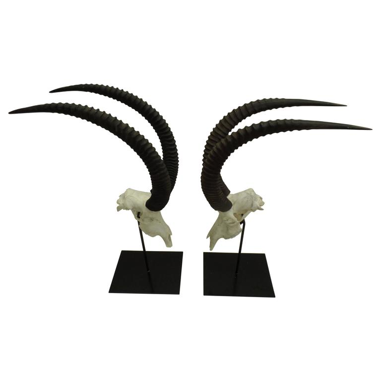 Magnificent, stunning pair of African sable antelope with large curved ringed horns or antlers mounted on two wrought iron stands. The pieces are mounted as sculptures and convey the presence, power, balance and harmony of these incredible
