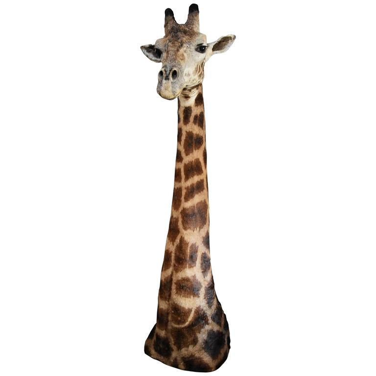 Rare Freestanding 20th Century African Taxidermy Giraffe Head and Neck For Sale