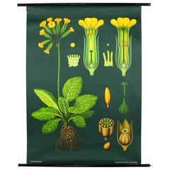 Vintage Wall Chart Primrose from Jung-Koch-Quentell, 1962