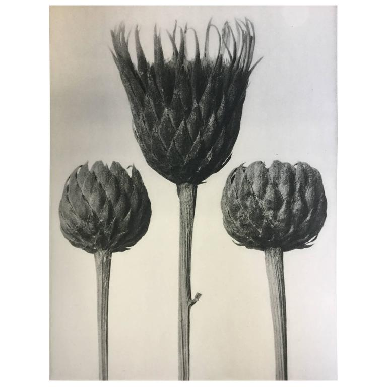 Karl Blossfeldt Original Photogravure First Edition 1