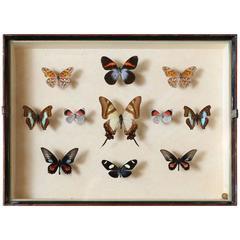 Vintage Butterfly Specimen Collection