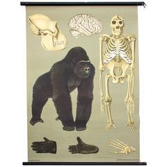 Wall Chart Gorilla from Jung-Koch-Quentell, 1961
