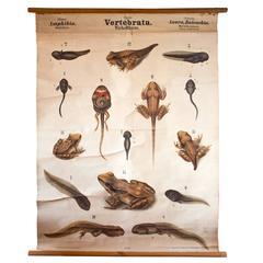 Rare 19th Century Wall Chart by Rudolf Leuckart, Frog, Amphibia, 1879