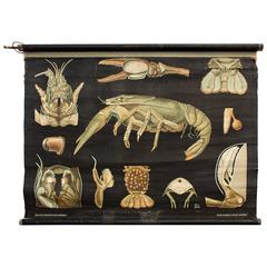 Rare Wall Chart Crawfish from Jung-Koch-Quentell, 1925