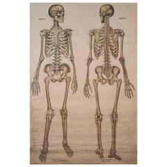 Frohse Anatomical Chart Human Skeleton, 1918