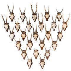 Set of 25 Vintage Black Forest Deer Antler Mounts