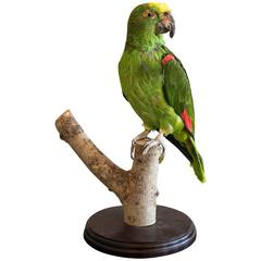 Taxidermy Yellow Crowned Parrot