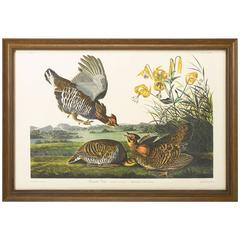 """Pinneated Grouse"" Plate 186, Amsterdam Audubon Edition"