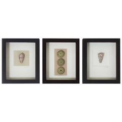 Set of Three Shell Specimens in Shadow Boxes