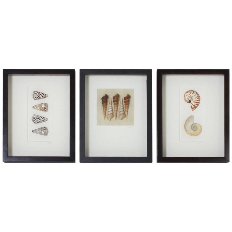 Set of Three Medium Shell Specimens in Shadow Boxes