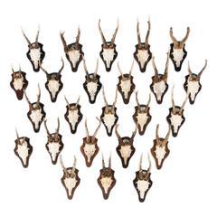 Set of 24 Vintage Black Forest Deer Antler Mounts