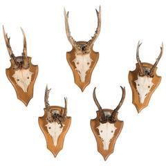 Set of Five Vintage Black Forest Deer Antler Mounts