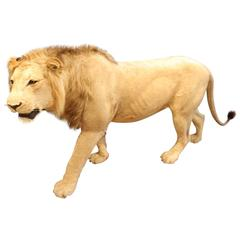 Taxidermy Lion, Full Body Mount