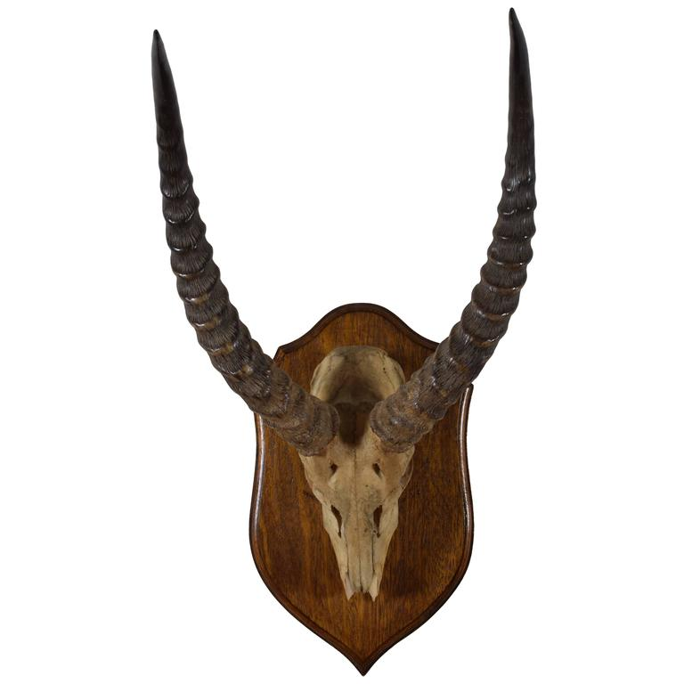African Impala Horn and Partial Skull Mount, 1st Quarter 20th Century