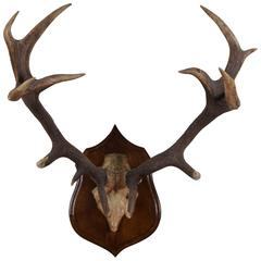 Continental Deer Mount on Carved Backplate, Early 20th Century