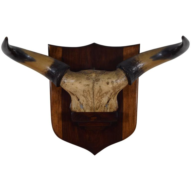 French Bovine Horn and Partial Skull Mount, 1st Quarter 20th Century For Sale